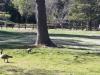 Васона парк Гуси